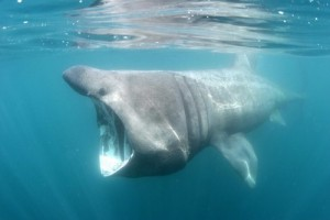 IMAGE SHOWS: FROM SHOOT: Basking sharks off Padstow, North Cornwall. PHOTOGRAPHER: Simon Burt Mandatory byline: westcountryphotographers.com Licensed by Sam Morgan Moore Ltd 01637 872724. Copyright image. Catchall: smmxxxxwcp